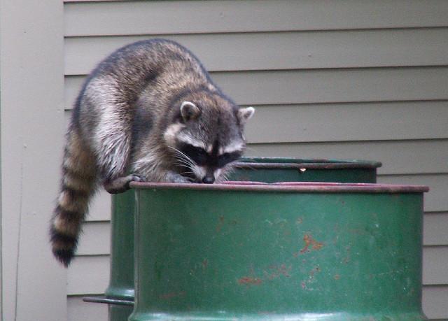 sneaky_raccoon